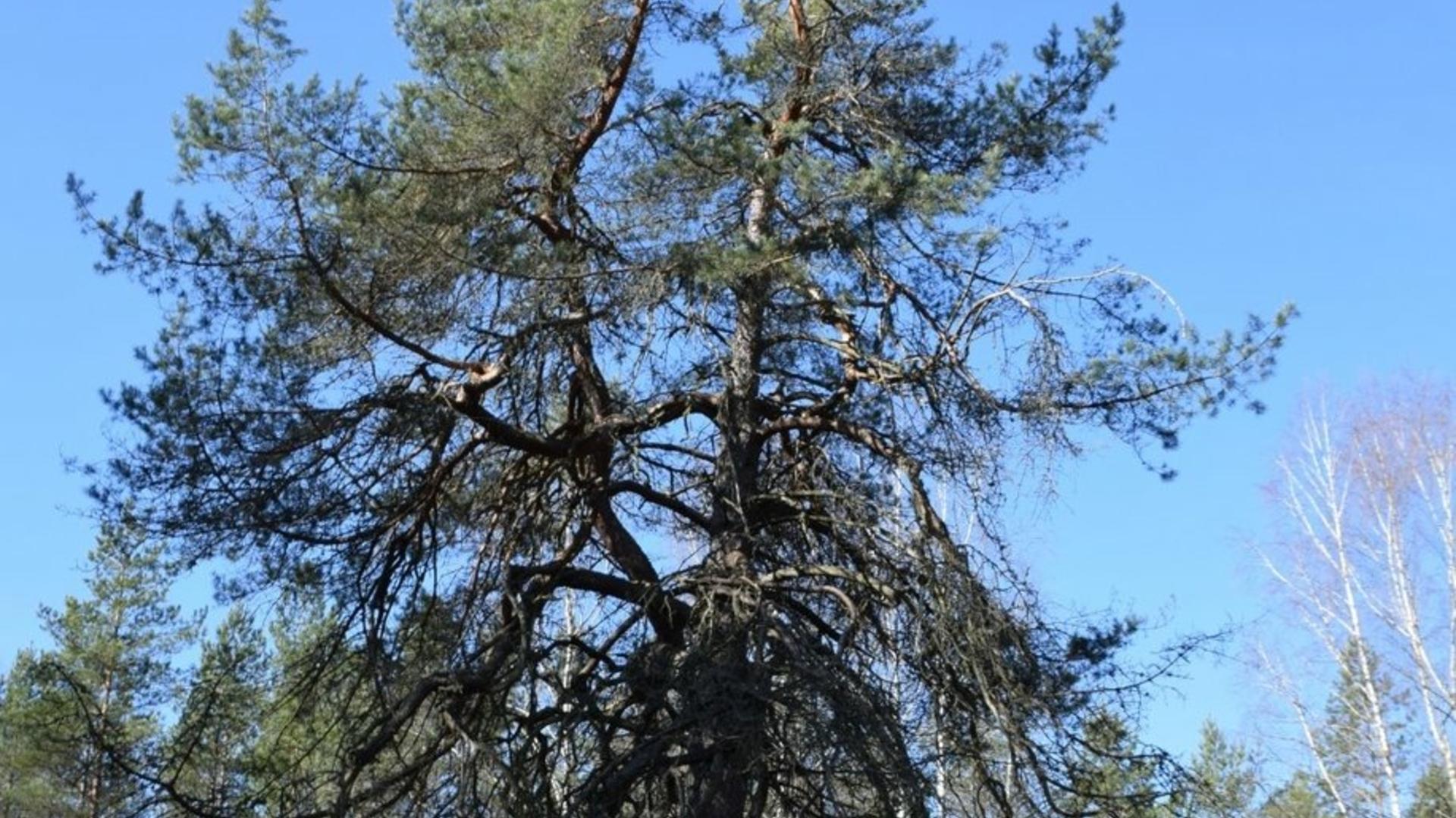 Lūšnia pine