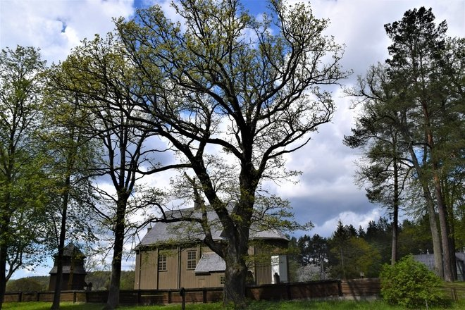 The Palūšė oak
