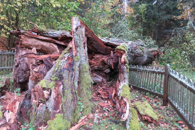 Trainiškis oak