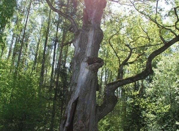 Траинишский дуб